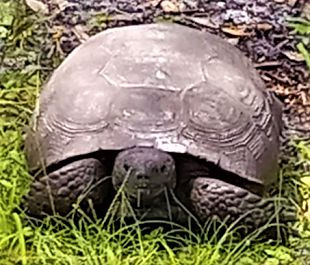 Picture of Florida Gopher Tortoise